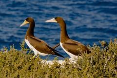 Brown Booby (GadgetKoz) Tags: birds birding caymanislands booby nesting caymanbrac brownbooby