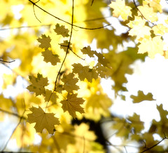 Shades of yellow (Varvara_R) Tags: autumn fall nature forest gold russia coth diamondclassphotographer flickrdiamond nikond800 nikonafsnikkor70200mmf28gedvrii