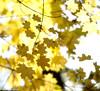 Shades of yellow (Varvara_R) Tags: autumn fall nature forest gold russia coth diamondclassphotographer flickrdiamond nikond800 nikonafsnikkor70200mmf28gedvrii