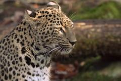 Persian leopard profile. (Raveniith) Tags: wild nature animal cat zoo persian big sweden wildlife spots leopard ark 2014 nordensark canon70200mm nordens canon5dmarkiii 5dmarkiii