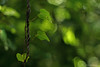 fugue in green (birdcloud1) Tags: vine growth entwined green bokeh forest bush leaves amandakeoghphotography amandakeogh birdcloud1 canoneos400d eos400d 400d greenlight doublehelix fugueingreen nature plants overtheexcellence littlestories picswithsoul canon50mm18 50mm 50mmlens aotearoa