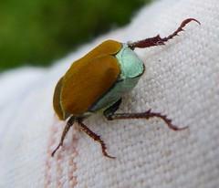 Scarabaeidae. Hoplia argentea (gailhampshire) Tags: slovenia beetles scarabaeidae argentea hoplia taxonomy:binomial=hopliaargentea