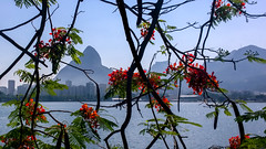 Flamboyant (Pedro Newlands) Tags: mountain plant flower tree water riodejaneiro landscape outdoors landscapes lagoon material flamboyant placesgeneral 3where