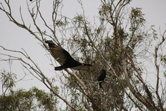 IMG_4563 (californiajbroad) Tags: bird nature turkey outdoors wildlife vulture