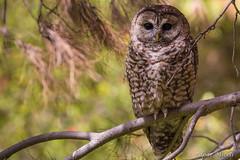 Mexican Spotted Owl (edgar.miceli) Tags: birds mexico aves durango owls mexicanspottedowl strixoccidentalislucida