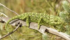 IMG_8769 (Sula Riedlinger) Tags: portugal nature reptile wildlife algarve chameleon riaformosa chamaeleochamaeleon portugalnature mediterraneanchameleon commonchameleon portugalwildlife