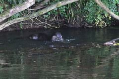 European otter (Lutra lutra) with lamprey (7) (Geckoo76) Tags: river otter lamprey europeanotter