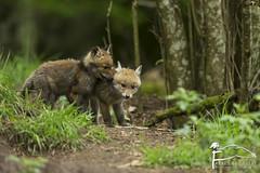 Voil un secret.. (Les Frres des Bois) Tags: animal cub mammals roux carnivore redfox vulpesvulpes renardeau renard vulpes mammifres goupil renardroux