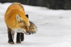 Red Fox V (Miguel de la Bastide) Tags: red wild ontario canada nature animal mammal outdoors nikon outdoor wildlife fox tamron algonquinpark carnivore redfox d5300 150600mm