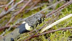 Grass Snake (Natrix natrix helvetica) (Nick Dobbs) Tags: grass reptile snake helvetica natrix