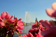 Rosa Pracht (Maexeltaexel) Tags: pink hamburg rosa alster kirschblte kirschen kirschbaum fontne alsterfontne