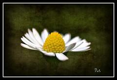 For Sandra (patrick.verstappen) Tags: flower macro texture garden photo spring google nikon flickr sandra belgium image pat sigma mai daisy textured facebook picassa twitter gingelom ipernity d5100 pinterest ipiccy