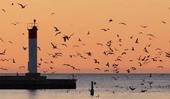 Feeding Frenzy at Dawn (Gavin Edmondstone) Tags: lighthouse ontario birds dawn oakville gx8 brontecreek cans2s olympus300mmf40isproedmzuiko