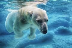Soto zen (ucumari photography) Tags: bear blue water animal mammal zoo oso nc north may polarbear carolina anana eisbr ursusmaritimus oursblanc 2016 osopolar ourspolaire orsopolare specanimal ucumariphotography sbjrn dsc0864