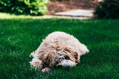 Luna Finally Worn Out (masemase) Tags: family dog holiday puppy pennsylvania swiss may luna ridge doodle labradoodle newhope mothersday yardley swissridge