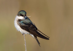 Tree Swallow (Happy Photographer) Tags: california bird nest treeswallow amyhudechek nikon200500f56