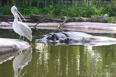 Nijlpaard- Hippopothamus Amphibius - Hippo + kroeskoppelikaan - Pelecanus crispus - Dalmatian Pelican (MrTDiddy) Tags: bird mammal zoo pelican antwerp hippo dalmatian antwerpen vogel zooantwerpen nijlpaard pelecanus crispus amphibius kroeskoppelikaan hippopothamus zoogdier