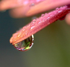 Sunset droplet (Kazooze) Tags: plant abstract macro nature water garden petals bokeh depthoffield petal refraction droplet africandaisy sigma105mmmacrolens susetosteospermum