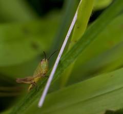 let's play 2 (nickneykov) Tags: flowers green nikon bugs bulgaria d750 grasshopper tamron 90mm nikond750