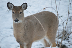 Winter Coat (codystripling) Tags: winter white snow fuzzy tail doe deer whitetail tial