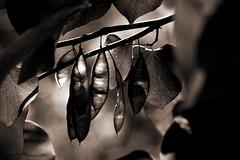IMG_0022 Inner Workings (oldimageshoppe) Tags: sepia spring seedpods easternredbud