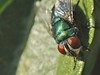 Chrysomya rufifacies (carlos mancilla) Tags: insectos flies moscas raynoxdcr250 chrysomyarufifacies olympussp570uz