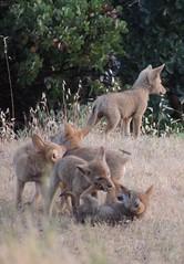 Princess Mary- Prince George 6 Pups4 (FluffyPuppiesMosaics) Tags: ca dogs wildlife redding turtlebay coyotes sundialbridge coyotepups tracihallstrom pupsplaying coyotepack fluffypuppiesmosaics riverknolls riverknollscondos