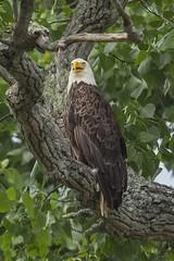 BALD EAGLES NESTING ON LEVEE RD., BROOKVILLE IN. (nsxbirder) Tags: male adult baldeagle indiana haliaeetusleucocephalus brookville whitewaterriver leveeroad