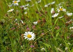 Sommerwiese Margeriten (rieblinga) Tags: sommer wiese grser margeriten rotklee