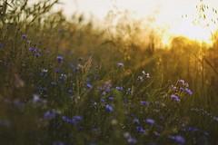 23.06.2016 (nnnnikt) Tags: flowers blue sunset sun field grass outside blueflowers cornflowers