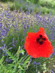 Hitchin Lavender (eyair) Tags: ashmashashmash uk england hitchinlavender hitchin ickleford lavender lavenderfield
