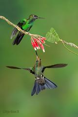 Green-crowned brilliant Hummingbird, Heliodoxa macula. Brillante coroniverde, Diamante frentiverde. (Sergio Bitran M) Tags: bird costarica hummingbird ave colibri 2016 trochiliformes greencrownedbrillant brillantecoroniverde trichilidae heliodoxamacula diamantefrentiverde