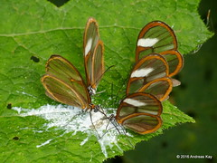 Clearwing butterflies feeding on bird poop (Ecuador Megadiverso) Tags: butterfly ecuador nymphalidae glasswing mindo danainae clearwing gretaoto ithomiini andreaskay