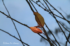 Leaflet (~~ Y.C.CHEN) Tags: blue red plant tree nature beautiful canon bokeh 7d leaflet