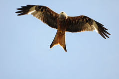 DSC_5099 Red Kite (PeaTJay) Tags: uk england birds outdoors reading gb tamron berkshire birdsofprey redkite lowerearley nikond300s