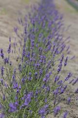 IMG_4936 (ElsSchepers) Tags: limburglavendel lavendelhoeve stokrooie kuringen hasselt natuur vlinders