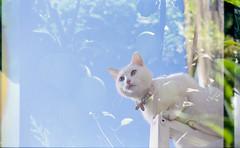 (333Bracket) Tags: canonae1 fd50mmf18 london 333bracket 35mm film analogue cat up lola sky window cute white doubleexposure