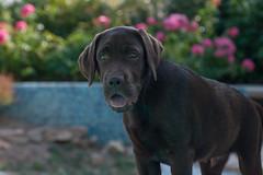 LOUKA-07394 (angeconsales) Tags: animal chien labrador chocolat