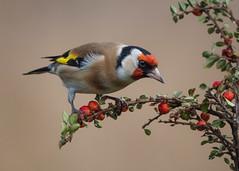 Goldfinch (Mitchy P) Tags: nature birds t wildlife goldfinch olympus feedingstation micro43 microfourthirds lumixgvario100300f4056 omdem5markii