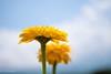 Zinnia #2 (Yorkey&Rin) Tags: 2016 7月 bluesky em5 flower japan july lakeyamanaka leicadgmacroelmarit45f28 macro olympus rin t7241557 yamanashi zinnia ジニア マクロ 花の都公園 山中湖 青空 ngc