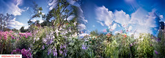 The light of summer III (DelioTO) Tags: 6x17 autaut botanical canada city closeup colours curved f175 flowers garden july landscape natparks ontario panoramic pinhole portra trails