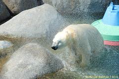 ijsberen_03 (Arnold Beettjer) Tags: wildlands emmen dierenpark dierentuin dierenparkemmen ijsbeer ijsberen polarbear