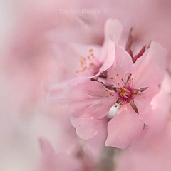 dreaming in pink clouds (stacey catherine) Tags: pretty pink blossom flower flowers nature garden botanical spring dreamy