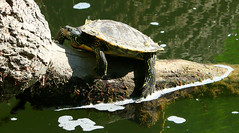 """zzzZZ - Lazy on a Sunday afternoon - ZZzzz (Darrell Colby """" You Call The Shots """") Tags: lononontario ontario canada turtle lazy sunday afternoon"""