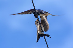 More food to come later for this young Swallow. (E P Rogers) Tags: barnswallow fledling hirundine fly migration africa