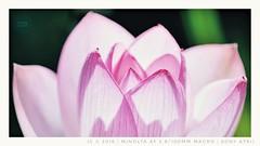 Lotus (mr ivanchan) Tags: lotus macro closeup nature flower outdoor sunlight daylight focus bokeh plant minolta af 100mm sony a7rii 2000views 40faves