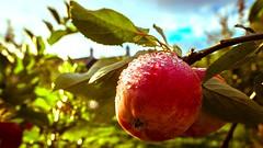 apples (1) (grahamrobb888) Tags: apples dunkeld birnam orchard sparkle fruit nikond800 sigma20mm