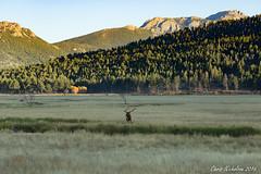 Last Light in the Valley (Chris Nicholson 1) Tags: meadow elk bullelk lastlight mountainside morainepark rockymountains rockymountainnationalpark