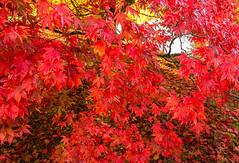 Autumn Colours 2 (Anthony White) Tags: stourton england unitedkingdom gb october2015 natural gardens wiltshire red nopeople autumn2015 nature acer golden landscape day sony walk sonyslt fall paisaje stourhead foilage