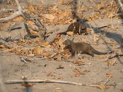 Safari Day 2-631.jpg (kunjaaa) Tags: safariday2 mongoose safari honeymoon animal